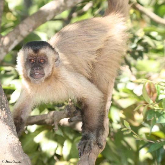 Cappuccini scimmia