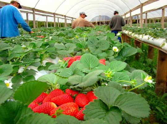 cultivo-morangos-nova-friburgo